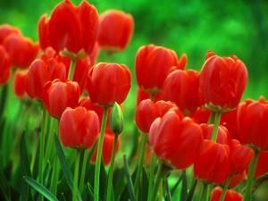 red-tulip-flower-wallpaper